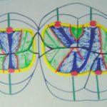 Q.斜走隆線はどのような役割をするのでしょうか?